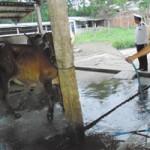 Thị trường - Tiêu dùng - Chiêu bẩn: Bơm nước vào bò để thu lợi
