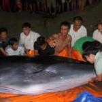 Tin tức trong ngày - Quảng Ninh: Trăm người giải cứu cá voi khủng