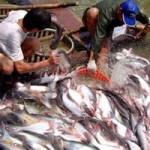 Thị trường - Tiêu dùng - Cá tra: Vừa không có hàng bán vừa bị áp thuế phá giá