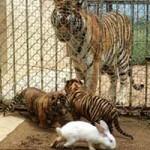 Tin tức trong ngày - TQ: Hổ con lóng ngóng săn thỏ trong vườn thú