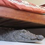 Tin tức trong ngày - Zimbabwe: Cá sấu khổng lồ núp dưới gầm giường