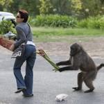 Tin tức trong ngày - Ảnh đẹp: Khỉ cướp rau của người đi chợ