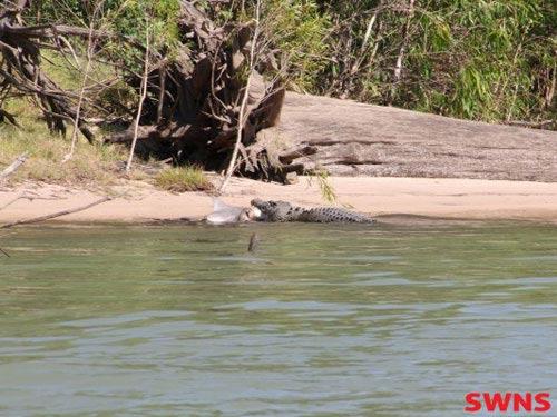 Giật mình thấy cá sấu ăn thịt cá mập - 2