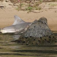 Giật mình thấy cá sấu ăn thịt cá mập