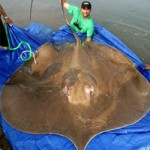 Phi thường - kỳ quặc - Những siêu cá khổng lồ