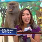 """Tin tức trong ngày - Video khỉ """"sàm sỡ"""" nữ phóng viên xinh đẹp"""