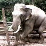 Tin tức trong ngày - 20 con voi rừng quậy phá trung tâm huyện