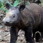 Tin tức trong ngày - Phát hiện loài tê giác chưa từng thấy ở Thái Lan