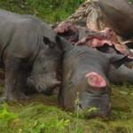 Tin tức trong ngày - Bơm chất độc vào tê giác để cảnh báo người VN