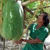 Tận mắt thấy bí đao khổng lồ tại Việt Nam