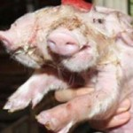 Phi thường - kỳ quặc - Kỳ quái: Lợn có 2 đầu, 2 mũi