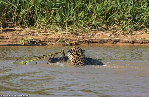 Ảnh: Báo gấm bơi qua sông tấn công cá sấu - 10