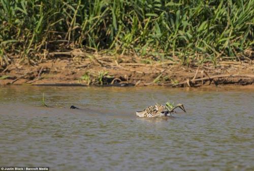 Ảnh: Báo gấm bơi qua sông tấn công cá sấu - 2