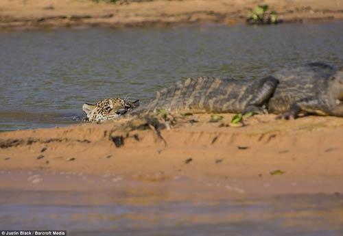 Ảnh: Báo gấm bơi qua sông tấn công cá sấu - 3