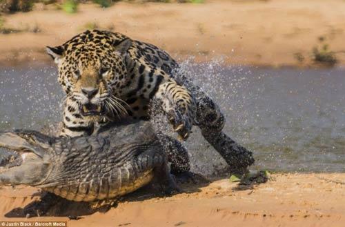 Ảnh: Báo gấm bơi qua sông tấn công cá sấu - 5