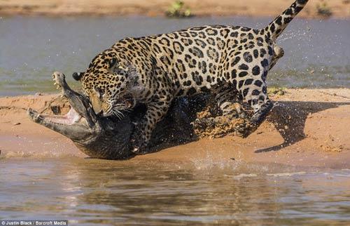 Ảnh: Báo gấm bơi qua sông tấn công cá sấu - 6