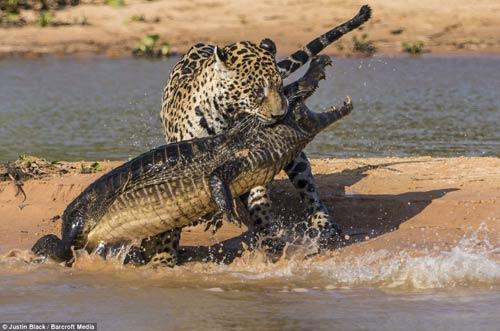 Ảnh: Báo gấm bơi qua sông tấn công cá sấu - 8