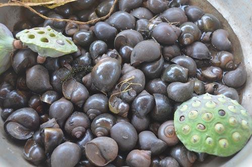 Mạo hiểm mạng sống bắt ốc bươu đen giữa đầm sen - 2