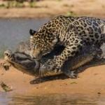 Tin tức trong ngày - Ảnh: Báo gấm bơi qua sông tấn công cá sấu
