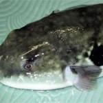 Sức khỏe đời sống - Ăn cá nóc, một người nguy kịch