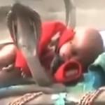 """Phi thường - kỳ quặc - Video: Đàn rắn hổ mang cực độc """"canh gác"""" cho em bé"""