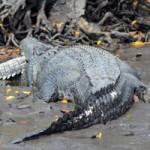 Tin tức trong ngày - Kinh hãi: Cá sấu khổng lồ ăn thịt đồng loại