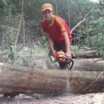 Thị trường - Tiêu dùng - Người trồng cao su ồ ạt đốn cây bán gỗ