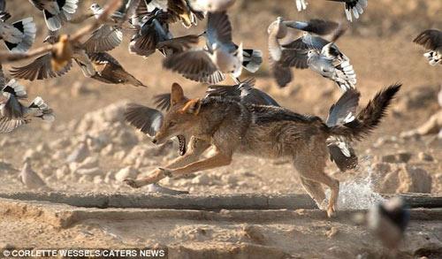 Ảnh: Chó rừng vụng về săn gà gô cát - 1