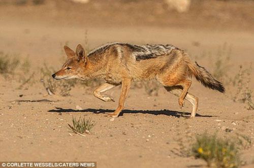 Ảnh: Chó rừng vụng về săn gà gô cát - 10