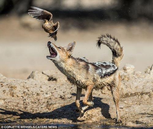 Ảnh: Chó rừng vụng về săn gà gô cát - 2