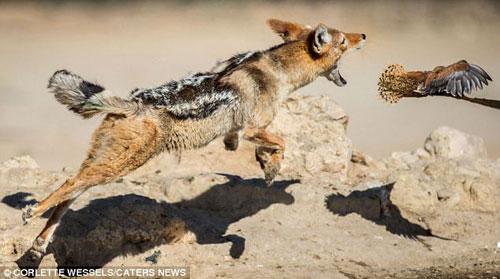 Ảnh: Chó rừng vụng về săn gà gô cát - 3