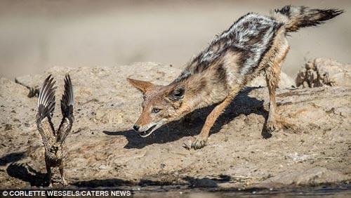 Ảnh: Chó rừng vụng về săn gà gô cát - 4