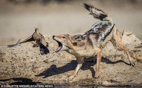 Ảnh: Chó rừng vụng về săn gà gô cát - 5