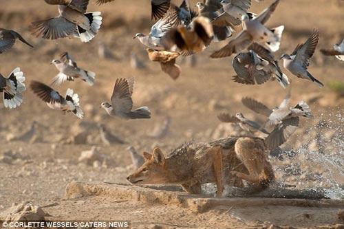 Ảnh: Chó rừng vụng về săn gà gô cát - 6