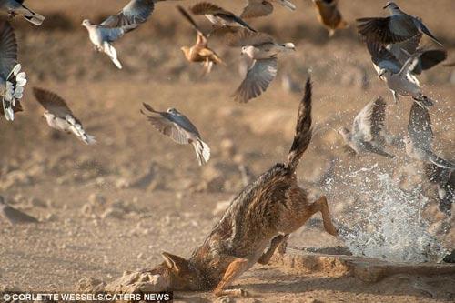 Ảnh: Chó rừng vụng về săn gà gô cát - 7