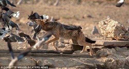 Ảnh: Chó rừng vụng về săn gà gô cát - 8