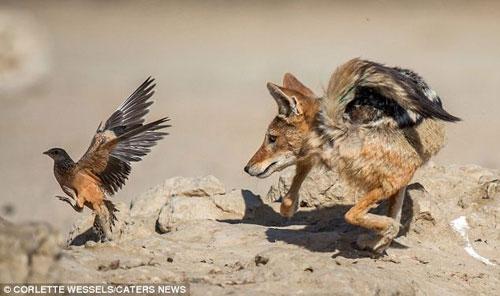 Ảnh: Chó rừng vụng về săn gà gô cát - 9