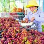 Thị trường - Tiêu dùng - Vườn nho đón khách miễn phí của lão nông Ninh Thuận