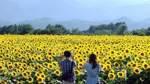 Nhật Bản rực rỡ mùa hoa hướng dương - 2