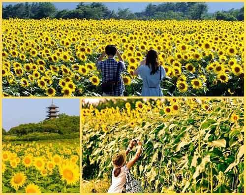 Nhật Bản rực rỡ mùa hoa hướng dương - 1