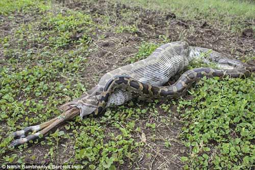 Ấn Độ: Trăn đá nuốt chửng linh dương gần nhà dân - 3