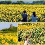 Du lịch - Nhật Bản rực rỡ mùa hoa hướng dương
