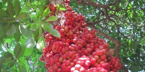 Những trái cây, hạt rừng hút khách thủ đô - 1
