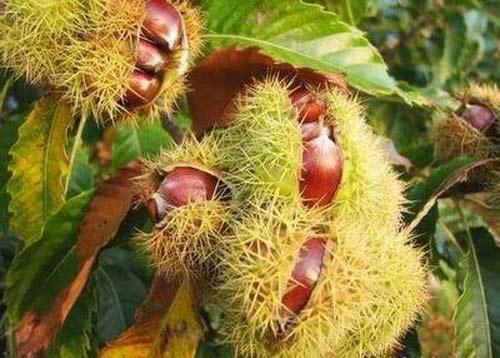 Những trái cây, hạt rừng hút khách thủ đô - 12