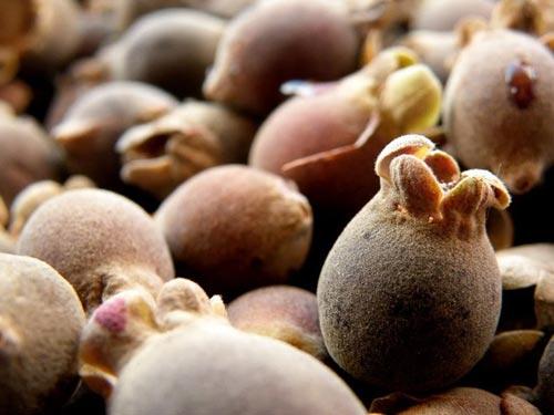 Những trái cây, hạt rừng hút khách thủ đô - 4