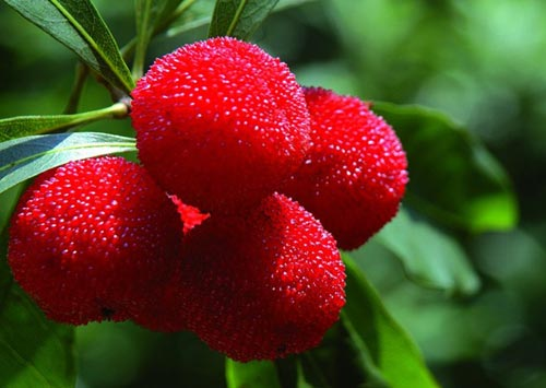 Những trái cây, hạt rừng hút khách thủ đô - 5