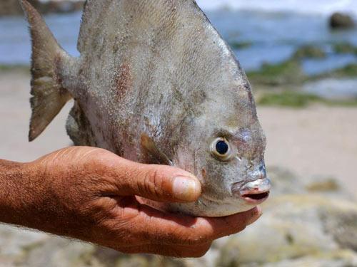 Loài cá chuyên ăn tinh hoàn người lại xuất hiện - 1