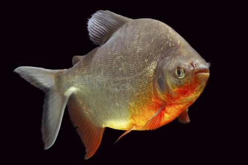Loài cá chuyên ăn tinh hoàn người lại xuất hiện - 3