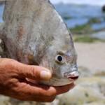 Phi thường - kỳ quặc - Loài cá chuyên ăn tinh hoàn người lại xuất hiện