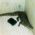 Tin tức trong ngày - Ấn Độ: Kinh hãi phát hiện cá sấu trong phòng tắm